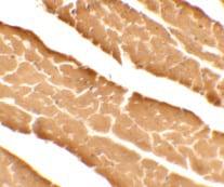 Immunocytochemistry - Anti-DDA1 antibody (ab117440)