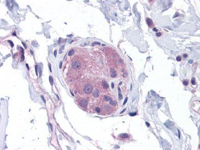 Immunohistochemistry (Formalin/PFA-fixed paraffin-embedded sections) - Anti-NOD1 antibody (ab117711)