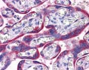 Immunohistochemistry (Formalin/PFA-fixed paraffin-embedded sections) - Anti-PAPP A2 antibody (ab117743)