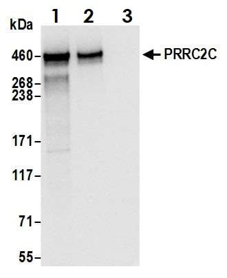 Immunoprecipitation - Anti-PRRC2C antibody (ab117790)