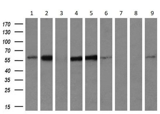 Western blot - Anti-IFIT3/P60 antibody [OTI1G1] (ab118045)