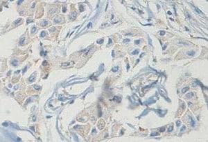 Immunohistochemistry (Formalin/PFA-fixed paraffin-embedded sections) - Anti-ISOC1 antibody (ab118245)