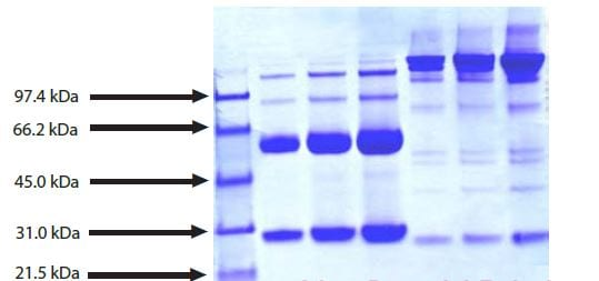 SDS-PAGE - Native Human IgG3 protein (ab118426)
