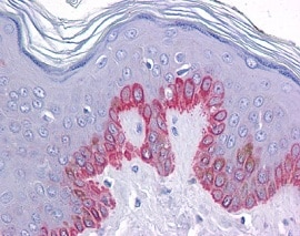 Immunohistochemistry (Formalin/PFA-fixed paraffin-embedded sections) - Anti-ZC3H12C antibody (ab118601)