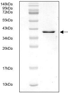 SDS-PAGE - Recombinant Human Tissue Factor protein (ab119148)
