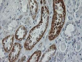 Immunohistochemistry (Formalin/PFA-fixed paraffin-embedded sections) - Anti-GATM antibody [OTI1C9] (ab119269)