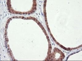Immunohistochemistry (Formalin/PFA-fixed paraffin-embedded sections) - Anti-RGS16 antibody [OTI4E5] (ab119424)