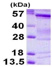 SDS-PAGE - Recombinant Human IRSp53 protein (His tag) (ab119452)