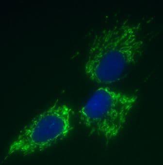 Immunocytochemistry/ Immunofluorescence - Anti-mtTFA antibody [18G102B2E11] - Mitochondrial Marker (ab119684)