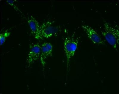 Immunocytochemistry/ Immunofluorescence - Anti-ATP5A antibody [15H4C4] - Mitochondrial Marker (FITC) (ab119688)