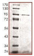 SDS-PAGE - Recombinant human PDGFR alpha (mutated T674 I) protein (ab119720)