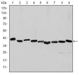Western blot - Anti-alpha smooth muscle Actin antibody [4A4] (ab119952)