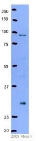 Western blot - Anti-Geminin antibody (ab12147)