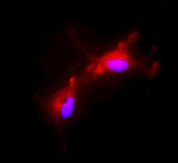 Immunocytochemistry/ Immunofluorescence - Anti-FOXO3A antibody - ChIP Grade (ab12162)