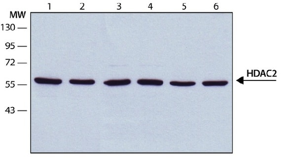 Western blot - Anti-HDAC2 antibody [HDAC2-62] - ChIP Grade (ab12169)
