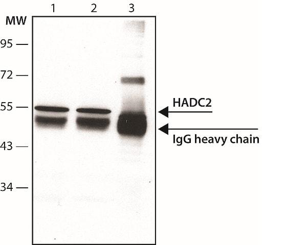 Immunoprecipitation - Anti-HDAC2 antibody [HDAC2-62] - ChIP Grade (ab12169)