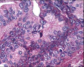 Immunohistochemistry (Formalin/PFA-fixed paraffin-embedded sections) - Anti-Apc1 (phospho S377) antibody (ab12206)