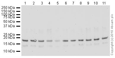 Western blot - Anti-Histone H3 (tri methyl K4) antibody [mAbcam12209] - ChIP Grade (ab12209)
