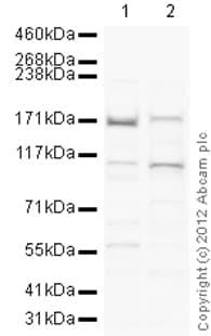 Western blot - Anti-Drosha antibody - ChIP Grade (ab12286)