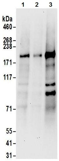 Western blot - Anti-JLP antibody (ab12332)