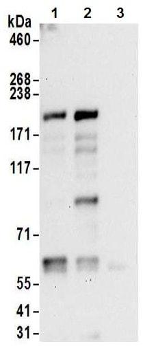 Immunoprecipitation - Anti-JLP antibody (ab12332)