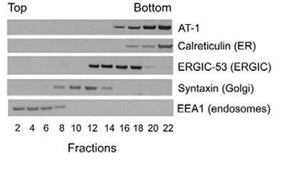 Western blot - Anti-Syntaxin 6 antibody [3D10] - Golgi Membrane Marker (ab12370)