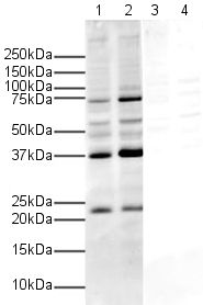 Western blot - Human APH1a peptide (ab12394)