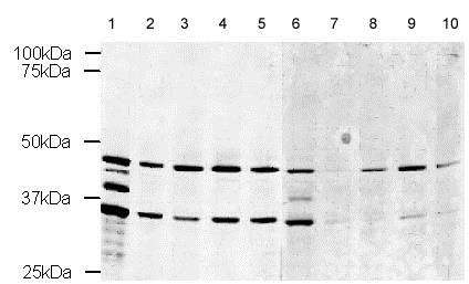 Western blot - YB1 peptide (ab12411)