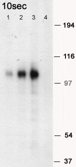 Western blot - Mouse PSD95 peptide (ab12419)