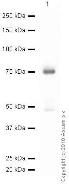 Western blot - Anti-HDPTP antibody (ab12553)