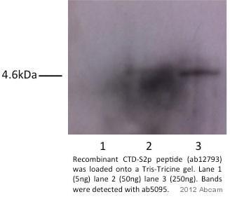 Western blot - <em>S. cerevisiae</em> RNA polymerase II CTD repeat YSPTSPS (phospho S1606 + S1613) peptide (ab12793)