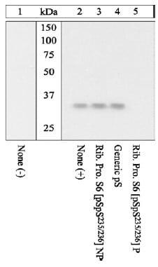 Western blot - Anti-RPS6 (phospho S235 + S236) antibody (ab12864)