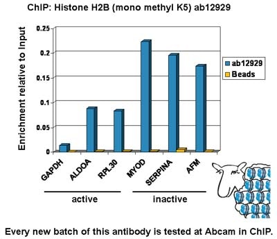 ChIP - Anti-Histone H2B (mono methyl K5) antibody - ChIP Grade (ab12929)