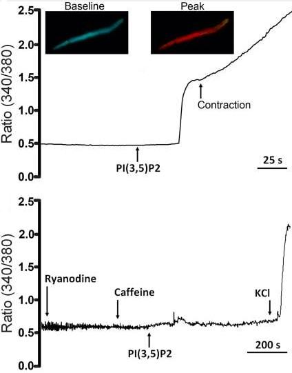 Functional Studies - Ryanodine, Ca<sup>2+</sup> release modulator (ab120083)