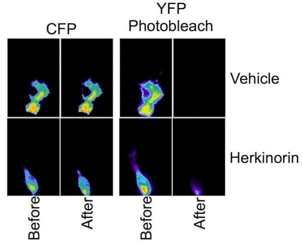 Immunocytochemistry/ Immunofluorescence - Herkinorin, mu opioid agonist (ab120147)