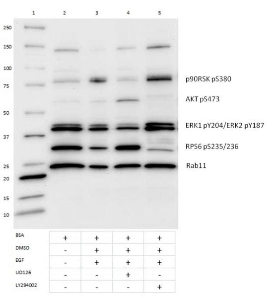Western blot - LY 294002, PI3-kinase inhibitor (ab120243)