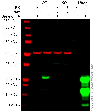 Western blot - Brefeldin A, Inhibitor of ADP-ribosylation factor (ab120299)