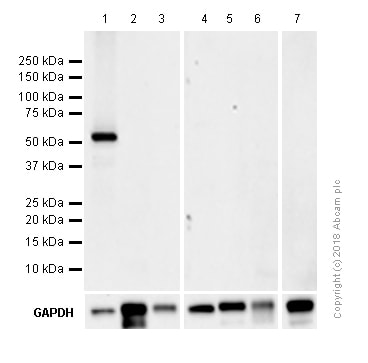 Western blot - Z-VAD(OH)-FMK, Irreversible general caspase inhibitor (ab120382)