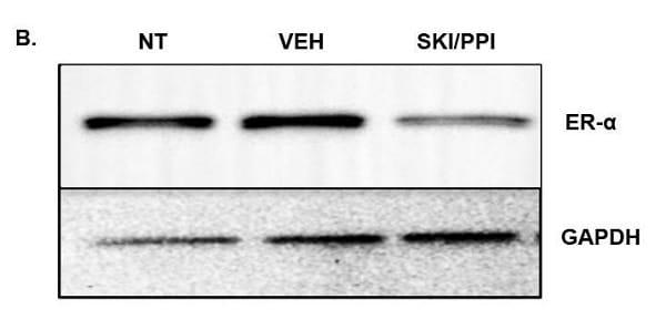 Functional Studies - PP 1, Src family tyrosine kinase inhibitor (ab120859)