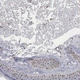 Immunohistochemistry (Formalin/PFA-fixed paraffin-embedded sections) - Anti-NGDN antibody (ab121124)