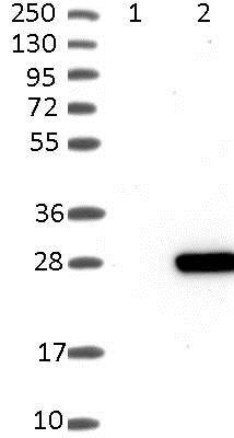 Western blot - Anti-PRL-1 antibody (ab121185)