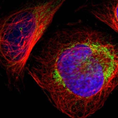 Immunocytochemistry/ Immunofluorescence - Anti-C14orf119 antibody (ab121205)