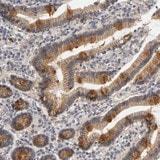 Immunohistochemistry (Formalin/PFA-fixed paraffin-embedded sections) - Anti-PDZD11 antibody (ab121210)