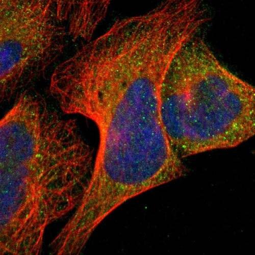 Immunocytochemistry/ Immunofluorescence - Anti-EAN57 antibody (ab121241)