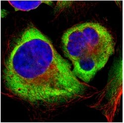 Immunocytochemistry/ Immunofluorescence - Anti-RPL35 antibody (ab121244)