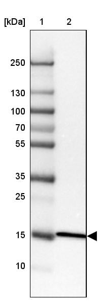 Western blot - Anti-RPL35 antibody (ab121244)