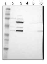 Western blot - Anti-ISY1 antibody (ab121250)
