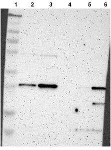 Western blot - Anti-Tspan-13 antibody (ab121262)