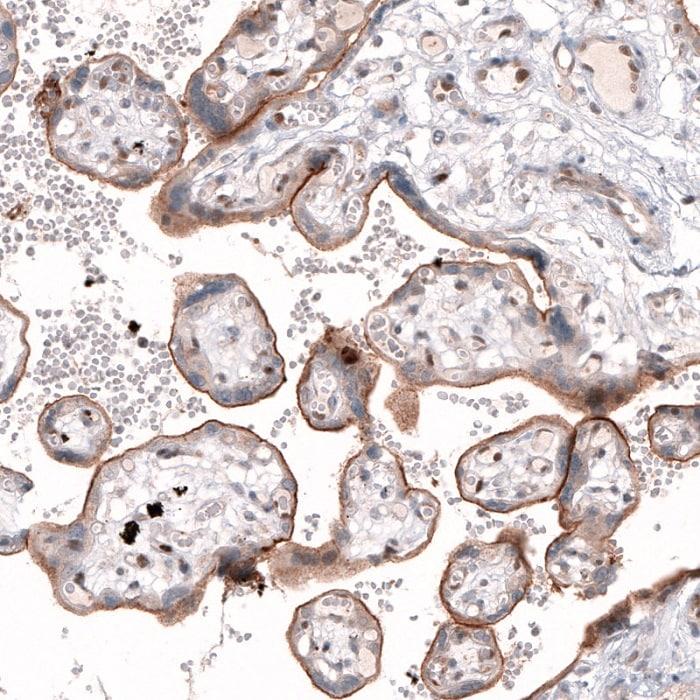 Immunohistochemistry (Formalin/PFA-fixed paraffin-embedded sections) - Anti-Tspan-13 antibody (ab121262)