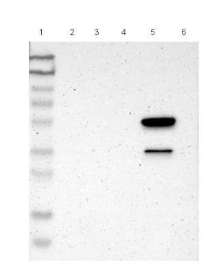Western blot - Anti-LY6G6F antibody (ab121272)